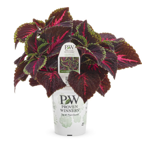ColorBlaze® Torchlight™ Coleus