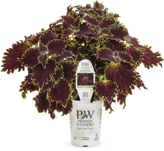 ColorBlaze® Wicked Witch™ Coleus