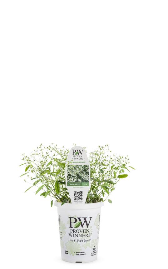 Diamond Frost™ Euphorbia