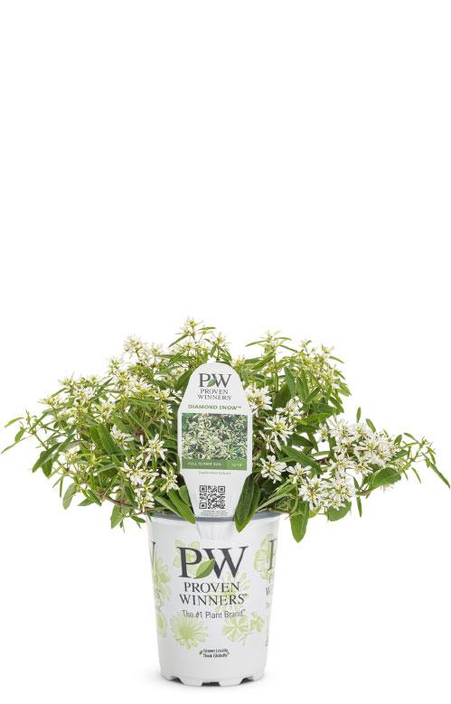 Diamond Snow™ Euphorbia