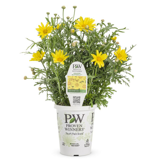 GOLDEN BUTTERFLY® Argyranthemum