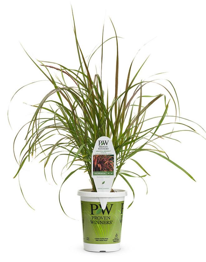 Graceful Grasses® Purple Fountain Grass Pennisetum