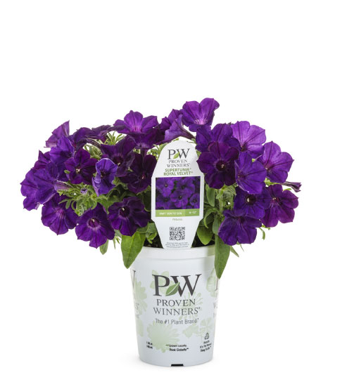 SUPERTUNIA® ROYAL VELVET® Petunia