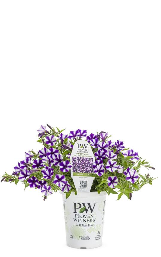 Supertunia® Mini Vista™ Violet Star Petunia
