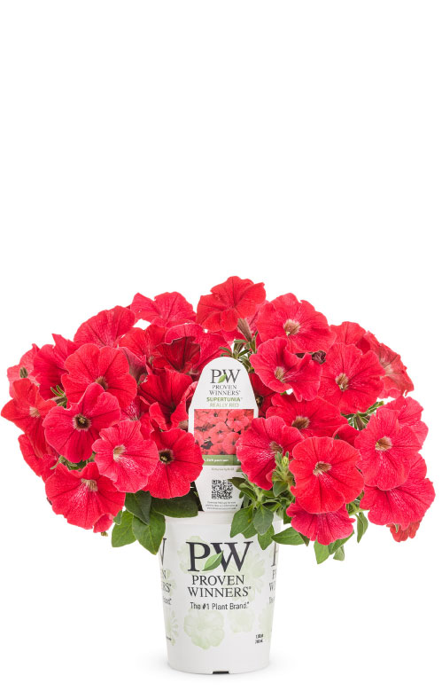 Supertunia® Really Red Petunia